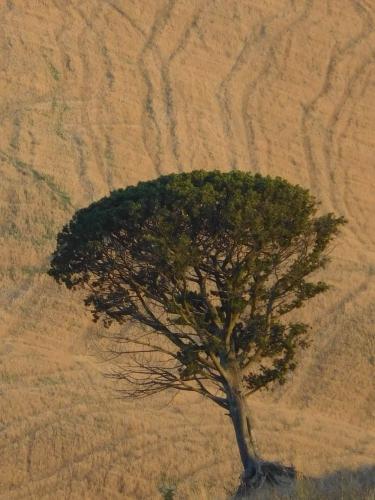 arbre toscan 2.jpg